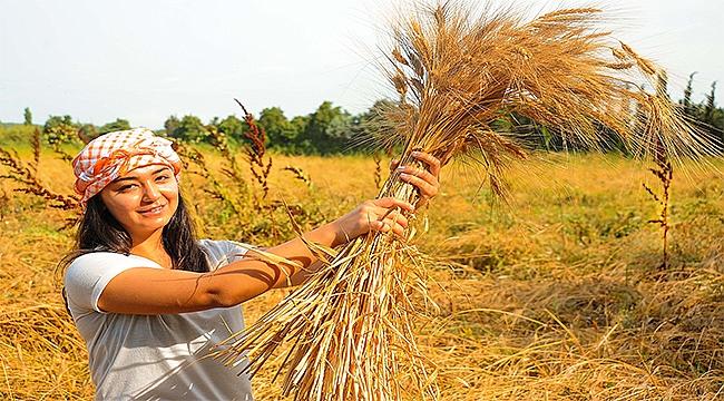 Tarihi Değeri Olan Karakılçık Buğdayının Hasadı Başladı