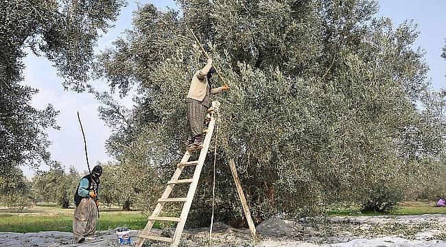 Döverek hasat zeytin rekoltesini azaltıyor