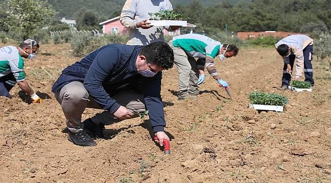 Buca Belediyesinin tüm arazileri tarımsal üretime açılıyor