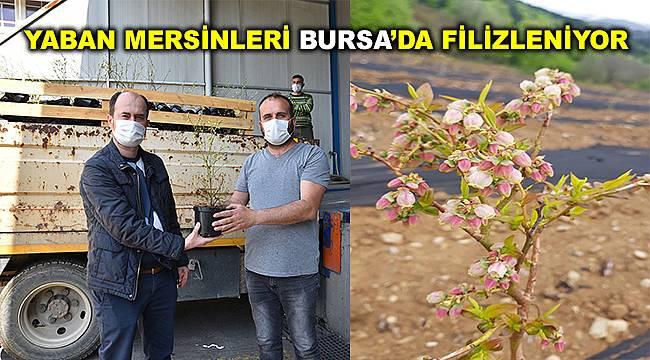 Bursa'da 75 bin çiftçiye yaban mersini fidanı dağıtıldı