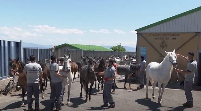 İBB Açıkladı: Adalar'daki Atlar Sahiplendiriliyor