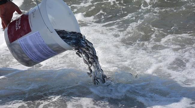 Dikili'de 10 bin yavru çipura denizle buluştu