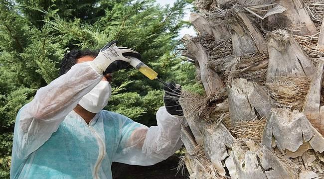 Aliağa Belediyesi'nden Kırmızı Palmiye Böceğine Karşı Etkin Mücadele