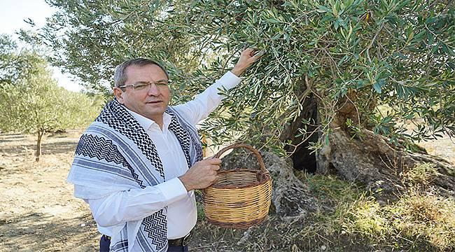 Ayvalık'ta 400 yaş ve üzerindeki anıt ağaçlardan ilk zeytinyağı üretildi