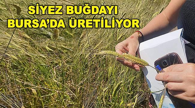 Buğdayın atası artık Bursa'da üretiliyor