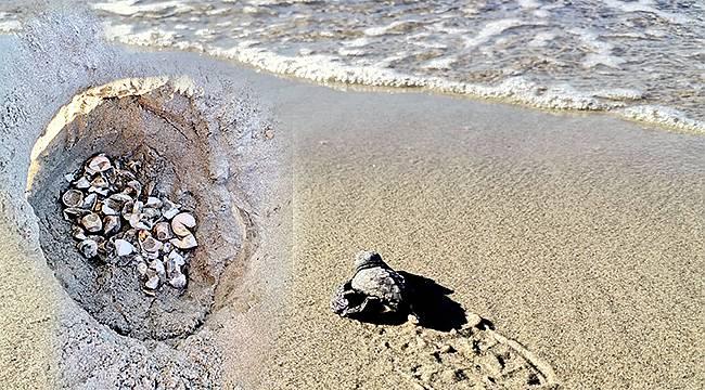 Çanakkale'de İlk Kez Caretta Caretta Yuvası Tespit Edildi