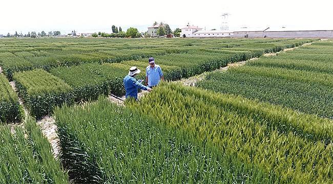 Tekfen Tarım'dan Türk çiftçisine yerli ve milli 3 yeni buğday çeşidi