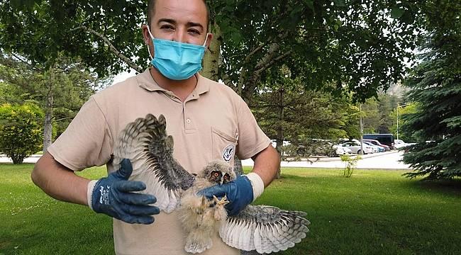Ağaçtan düşen yavru baykuş kurtarıldı