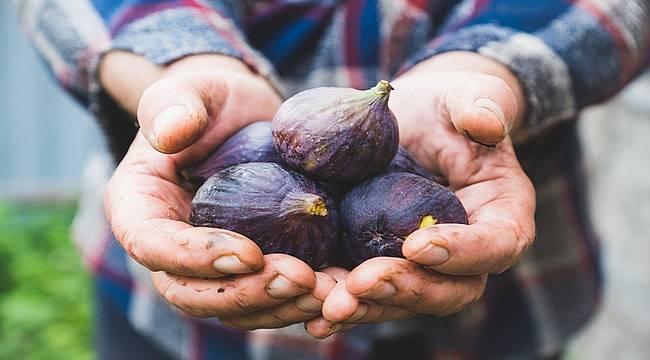 Taze incirin ihracat yolculuğu başlıyor