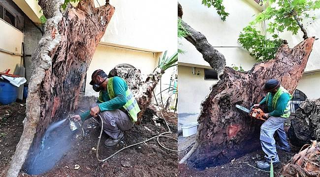 Asırlık ağaçlar nasıl korunuyor?