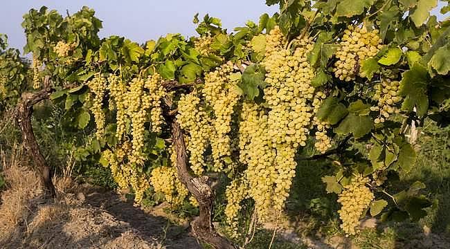 Sultani çekirdeksiz üzüm tüm dünyanın ilk tercihi oldu